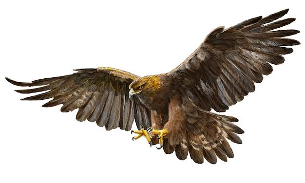 Tração da mão do vôo da águia dourada no fundo branco.