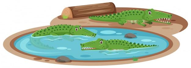Três crocodilos na lagoa