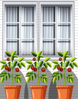 Três plantas de tomate em vasos no fundo da janela