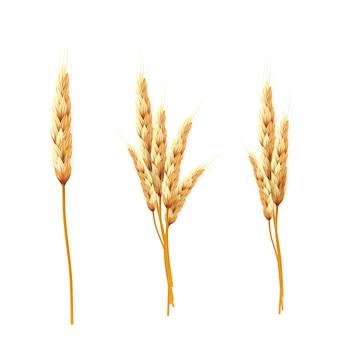 Trigo. bando de espigas de trigo e sementes isoladas