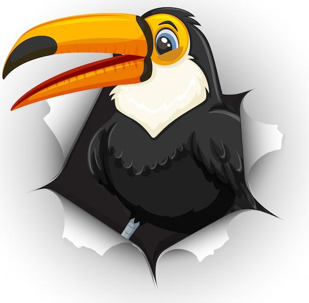Tucano bonito pássaro saindo da parede rachada