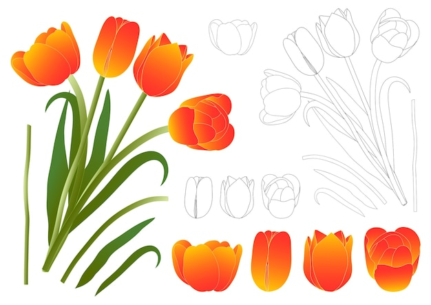 Tulipa alaranjada do ramalhete.