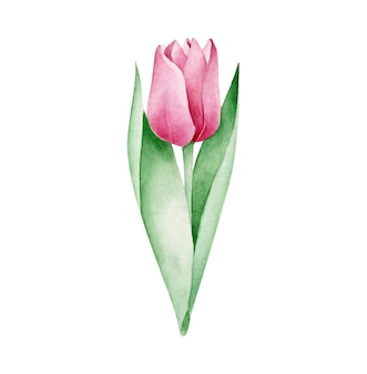 Tulipa aquarela
