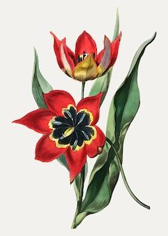 Tulipa preta e vermelha