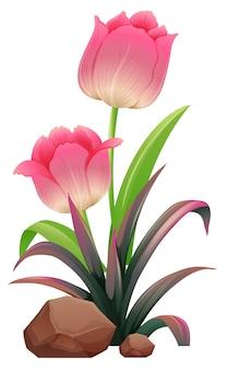 Tulipas cor de rosa