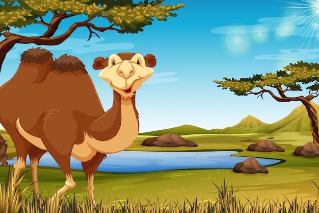 Um, camelo, em, savana