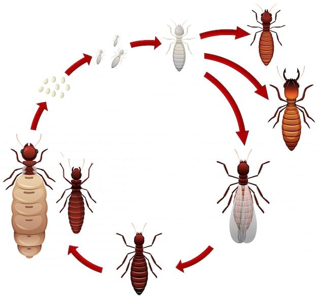 Um ciclo de vida de cupins