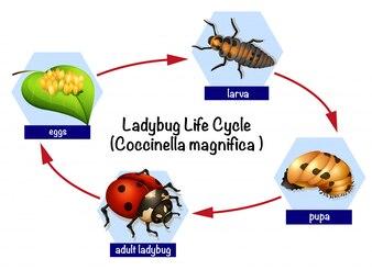 Um ciclo de vida de joaninha