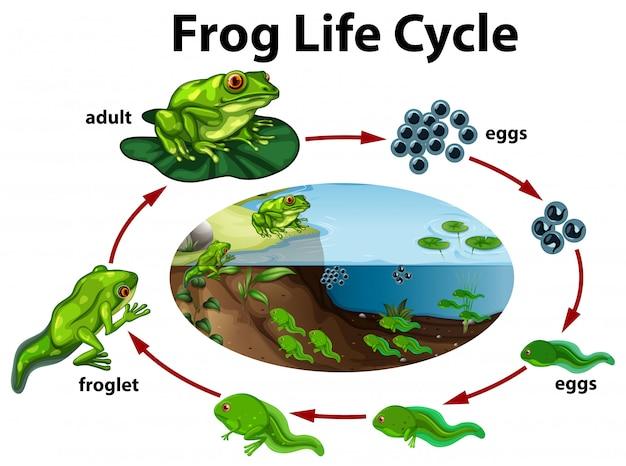 Um ciclo de vida de sapo