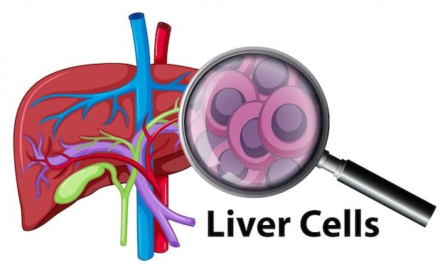 Um, closeup, human, fígado, celas
