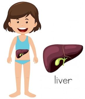 Um desenho de um fígado de menina