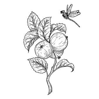 Um galho com maçãs e uma libélula voadora