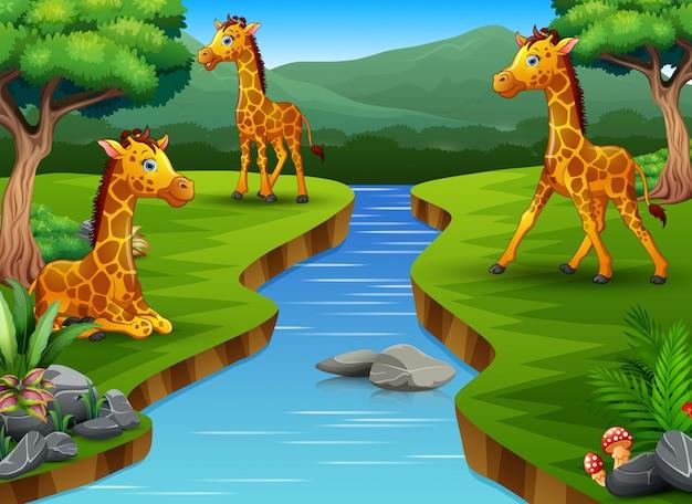 Um grupo de girafa desfrutando da bela natureza