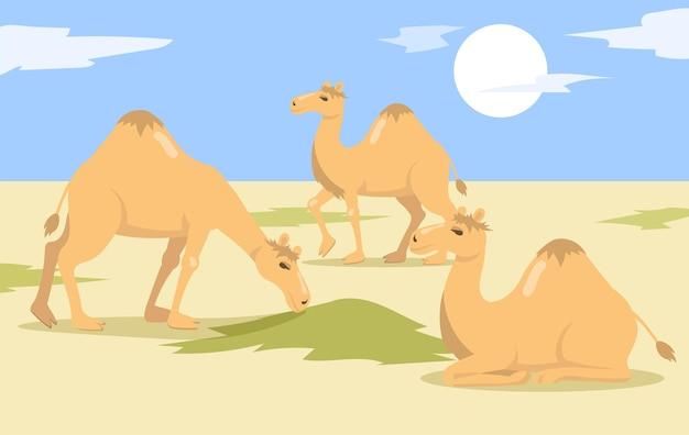 Um rebanho de camelos corcunda andando e comendo grama no deserto.