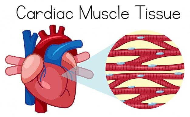 Um tecido muscular humano cardíaco