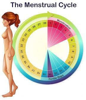 Um vetor do ciclo menstrual