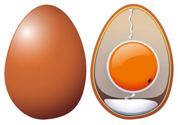 Uma anatomia de ovos de galinha