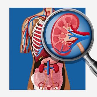 Uma anatomia humana do rim