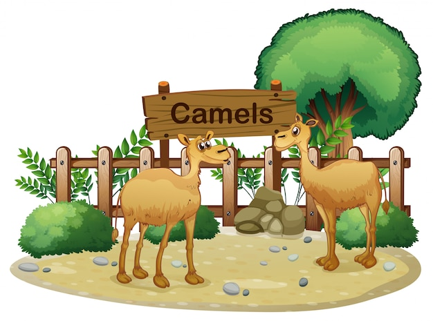 Uma tabuleta na parte de trás dos dois camelos