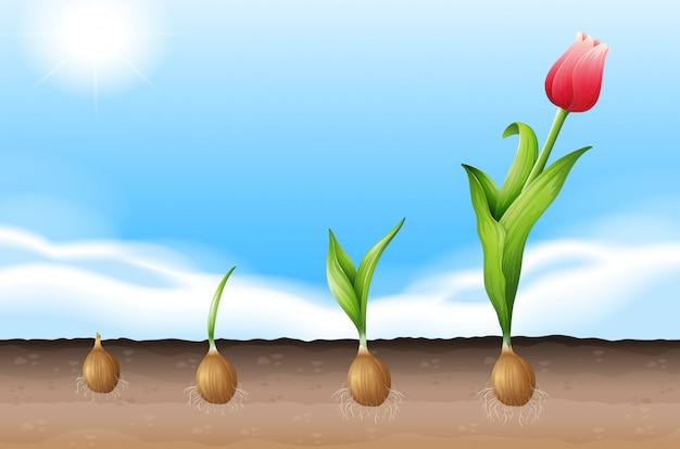Uma tulipa crescendo