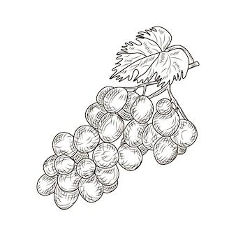 Uva em estilo gravado, isolado no fundo branco. vinha de vinho fechar contorno, folhas, bagas. fruta de esboço desenhado de mão vintage. desenho de ilustração vetorial