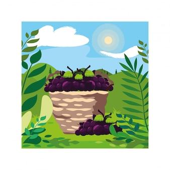 Uvas com ramo na cesta de vime na paisagem de fundo
