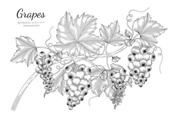 Uvas frutas mão desenhada ilustração botânica com arte de linha em branco