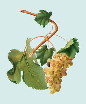 Uvas vermentino da ilustração pomona italiana