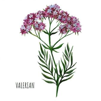 Valeriana planta com flores, plantas medicinais, mão desenhada