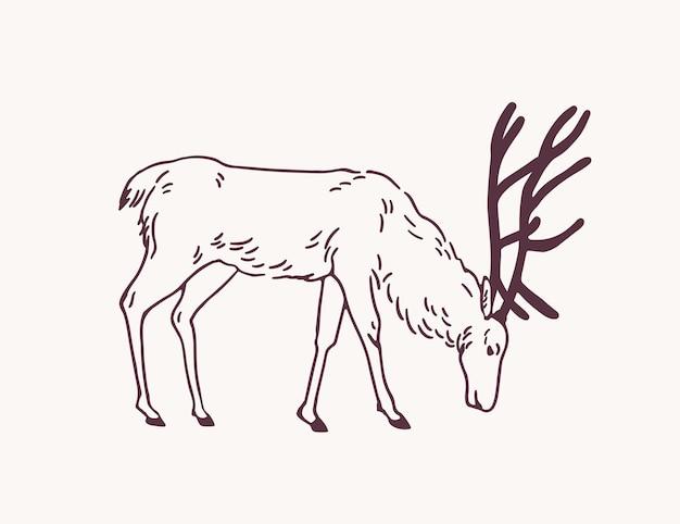 Veado macho, rena ou veado pastando na mão de pasto desenhado com linhas de contorno sobre fundo claro. desenho decorativo de comer animais herbívoros da floresta, vista lateral. ilustração monocromática do vetor.