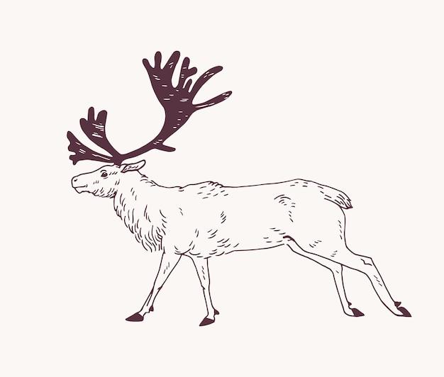 Veado, rena ou veado macho com chifres lindos desenhados à mão com contornos em branco