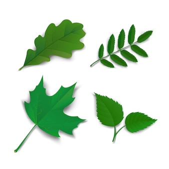Verão carvalho maple ash folhas de birch
