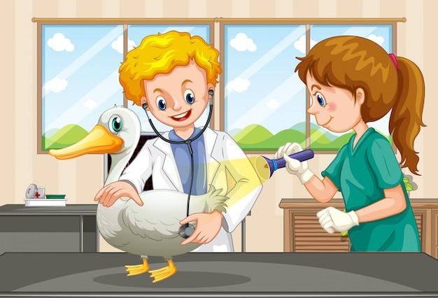 Veterinários, examinando a saúde de um pato