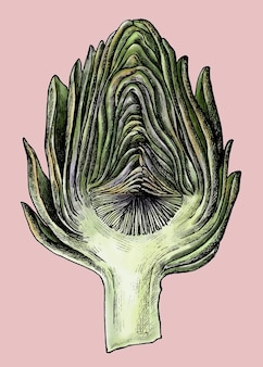 Vetor de alcachofra orgânica recém-fofo