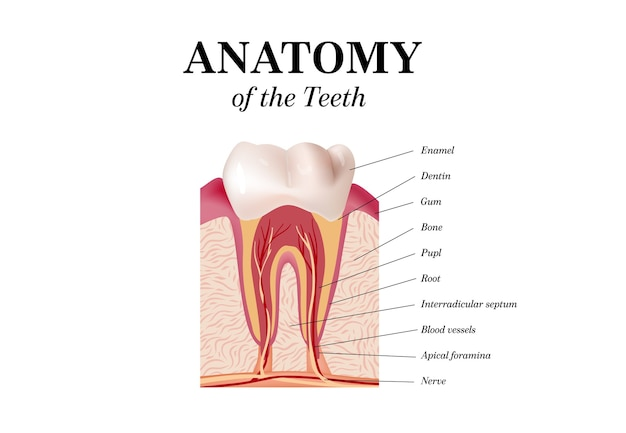 Vetor de anatomia do dente infográficos odontológicos. maquete realista de dente branco. conceito de saúde de cuidados bucais.