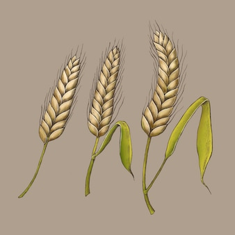 Vetor de espigas de trigo orgânico cru