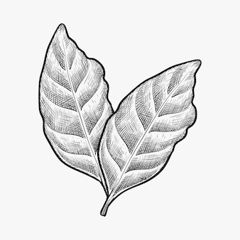 Vetor de folha de café desenhada de mão