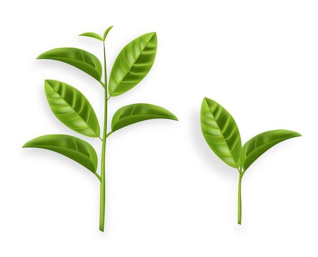 Vetor de folhas de chá verde realista isolado na ilustração de brancos