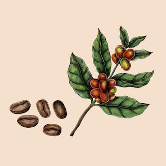 Vetor de grãos de café fresco desenhado à mão