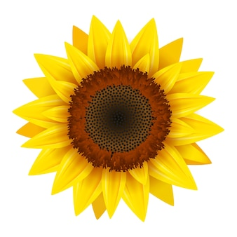 Vetor de ícone realista de girassol isolado. ilustração de flor de natureza flor amarela de girassol para o verão.