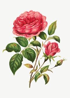 Vetor de ilustração botânica de flor rosa vintage, remix de obras de arte de l. prang & co.
