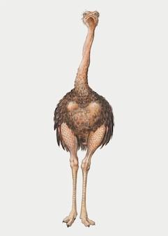 Vetor de ilustração de avestruz de comprimento total vintage