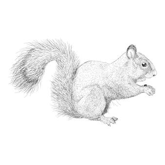 Vetor de ilustração de esquilo, esboço animal