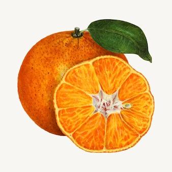 Vetor de ilustração de laranjas vintage