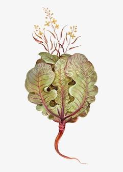 Vetor de ilustração de repolho fresco vintage