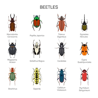 Vetor de insetos definido no design de estilo simples. tipo diferente da coleção das espécies do inseto dos besouros. isolado