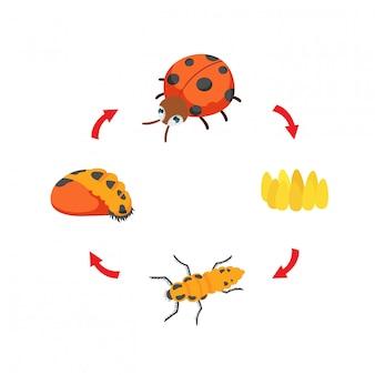 Vetor de joaninha de ciclo de vida de ilustração Vetor Premium