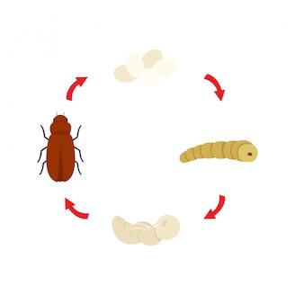 Vetor de larvas de farinha de ciclo de vida de ilustração