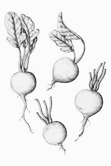 Vetor de rabanete fresco desenhado à mão