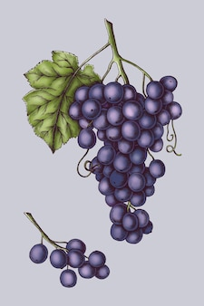 Vetor de uvas roxas orgânicas frescas